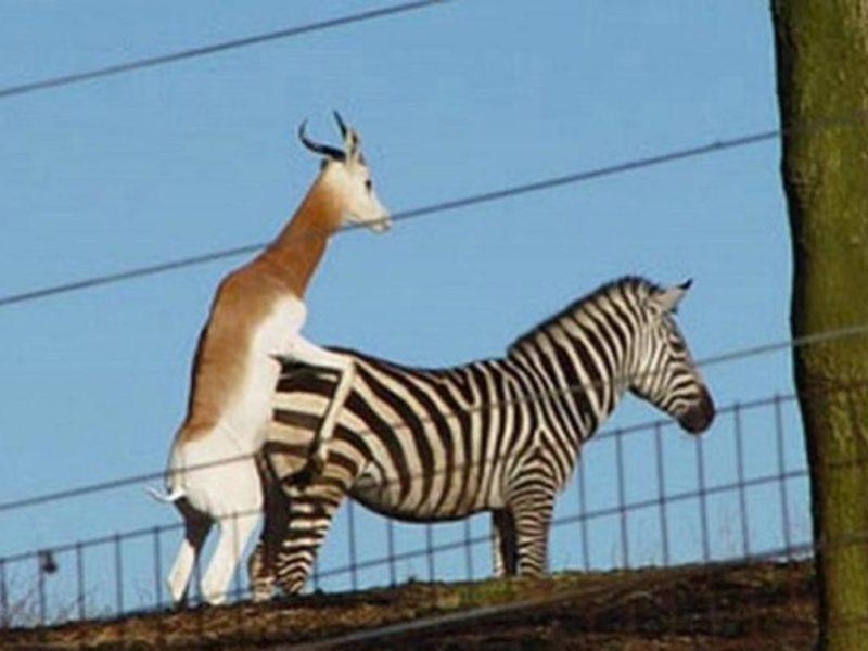 zebra fucking wtf