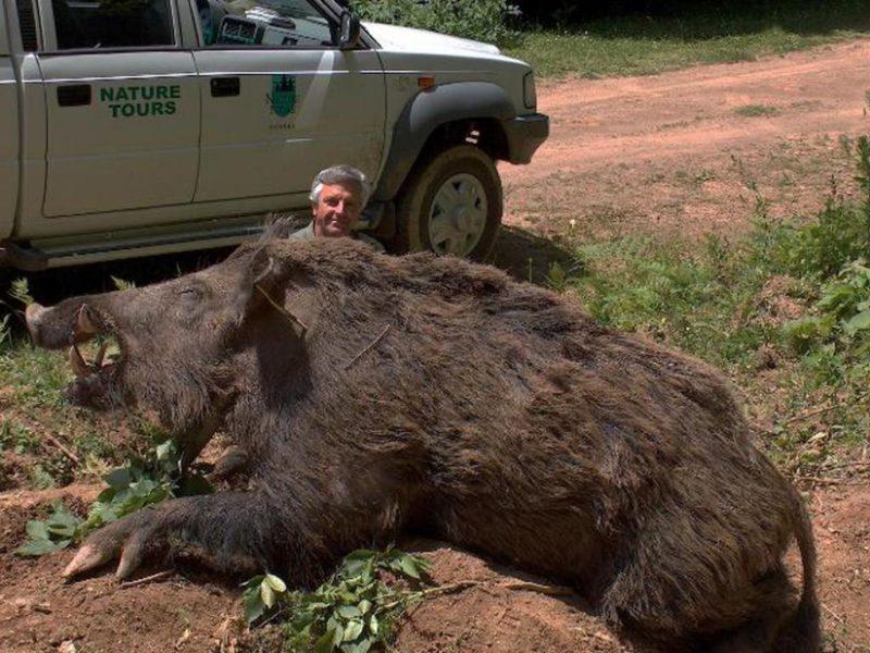 huge wild pig