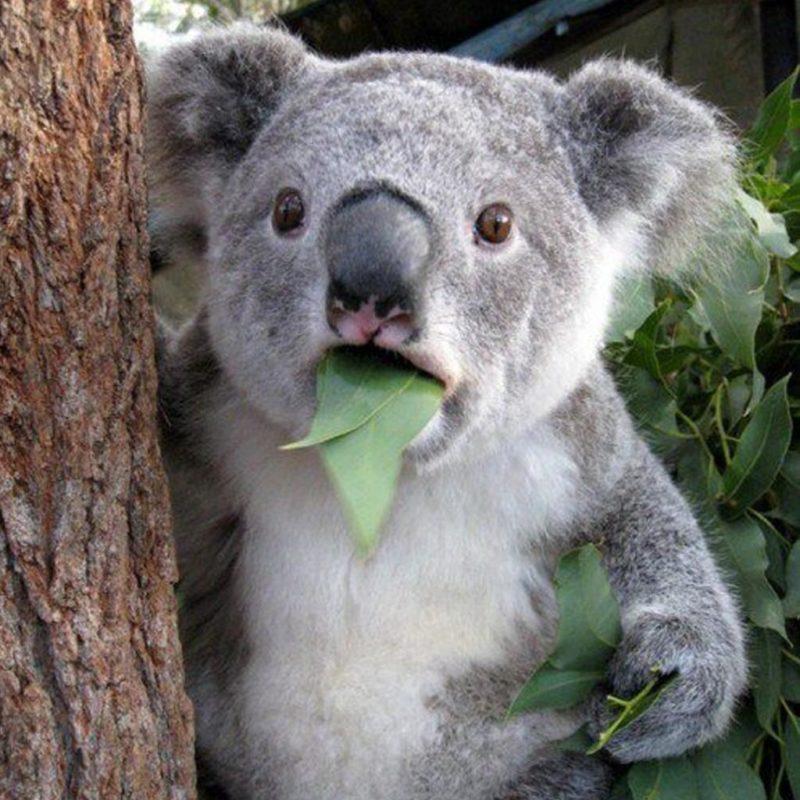 cutey koala