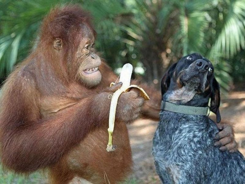 funny ape